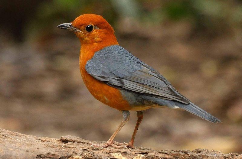 Burung Anis Merah (hbw.com)