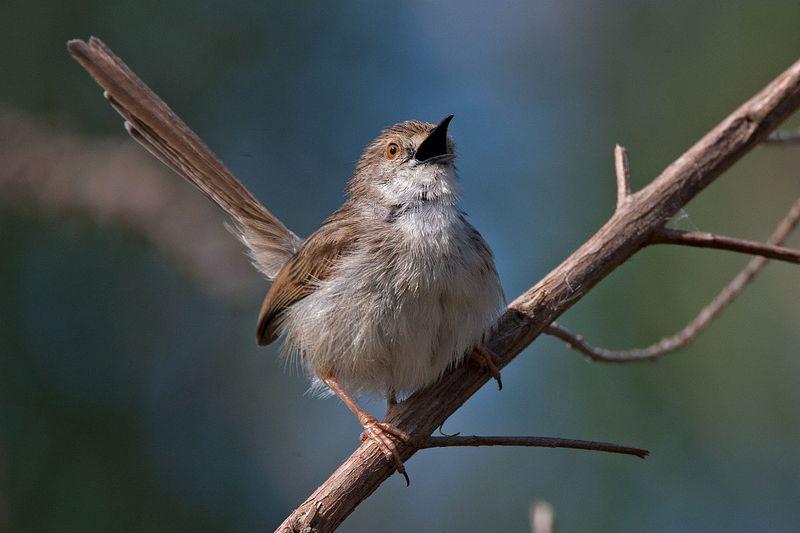 Burung Ciblek (wikipedia.org)
