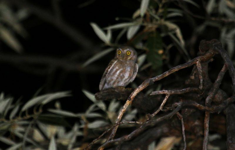 Burung Hantu Elf Mencari Mangsa (arizonabirder.com)