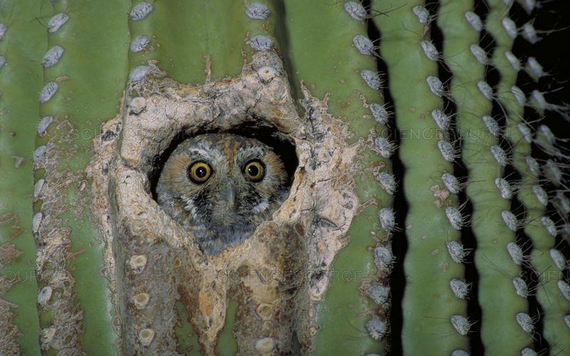 Burung Hantu Peri Hidup di Lubang Kaktus (sciencesource.com)