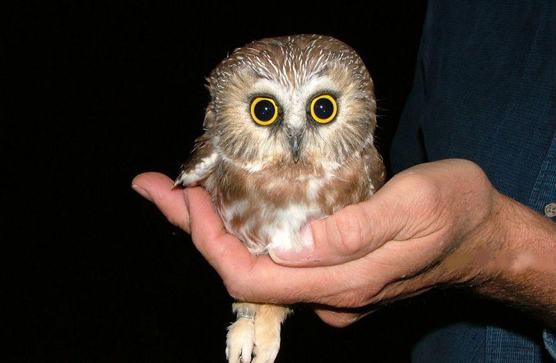 Burung Hantu Terkecil di Dunia (imgur.com)