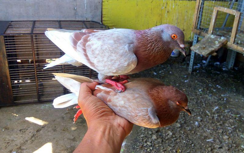 Cara Melatih Napas Merpati (merpatibalappaul.blogspot.com)