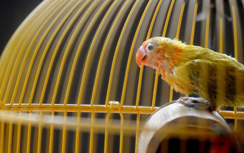 6 Cara Membuat Lovebird Ngekek Panjang Terus di Lomba