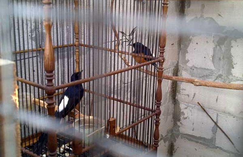 Cara Ternak Murai Batu Medan (rsoebf.blogspot.com)