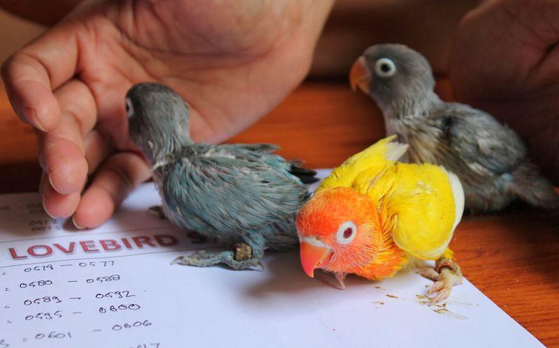 Harga Lovebird Turun Drastis Sangat Murah (griyalovebird.blogspot.com)