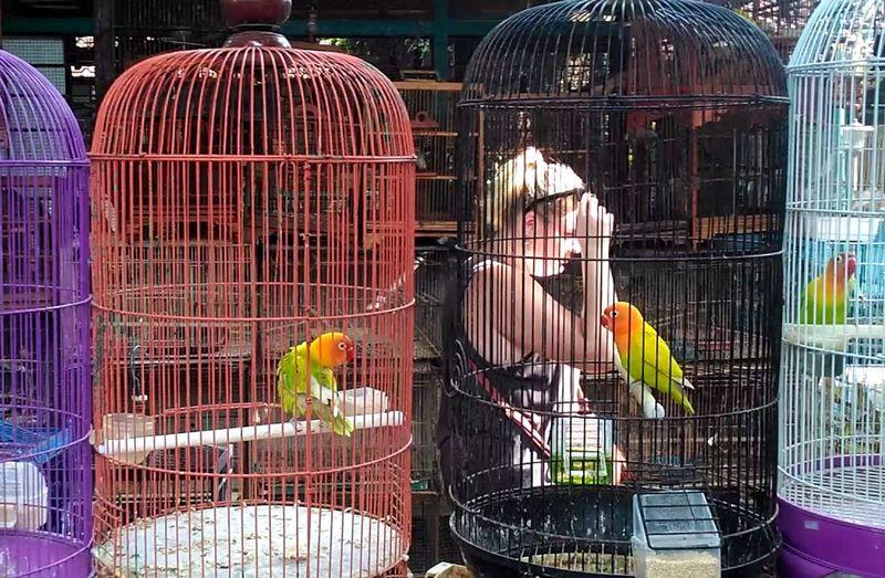 Harga Lovebird Turun Drastis (youtube.com)