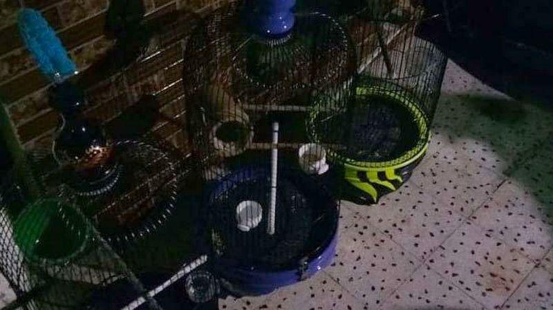 Lovebird Hilang di Gresik (tribunnews.com)