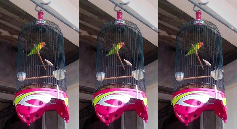 Lovebird Mata Dewa Mati (facebook.com)