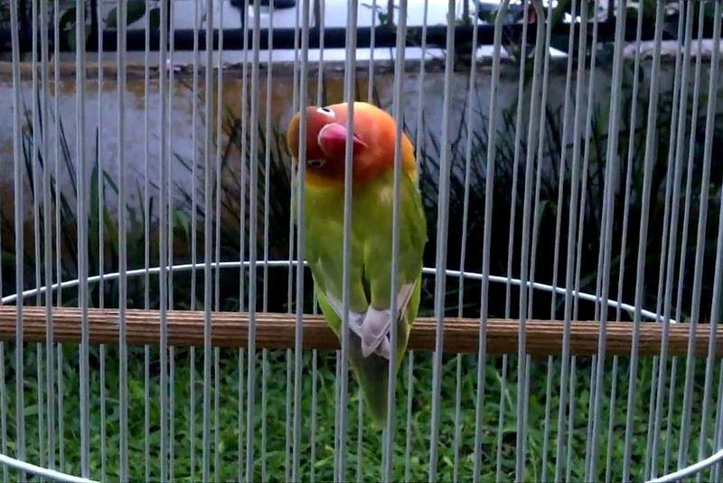 Perawatan Lovebird Konslet (youtube.com)
