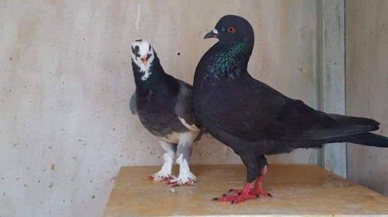 Sayembara Burung Merpati Berhadiah Rp 30 Juta Berhasil Ditemukan