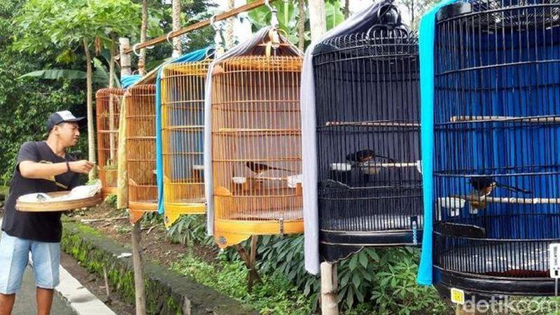 Sekolah Burung Boyolali Bird Mastering (detik.com)