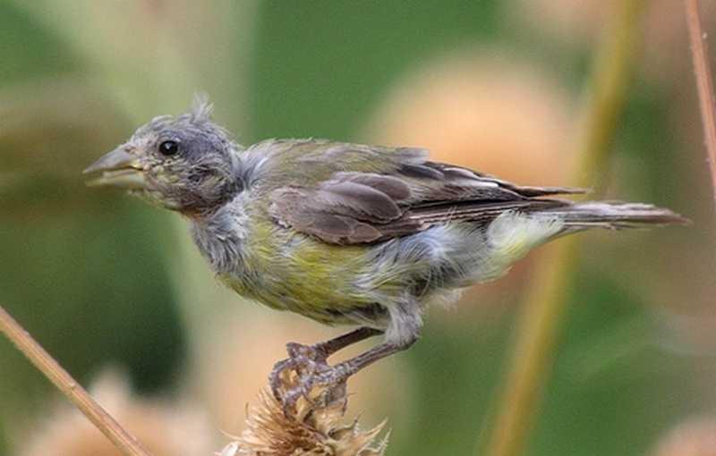 Burung Cepat Mabung (backyardnaturalist.ca)