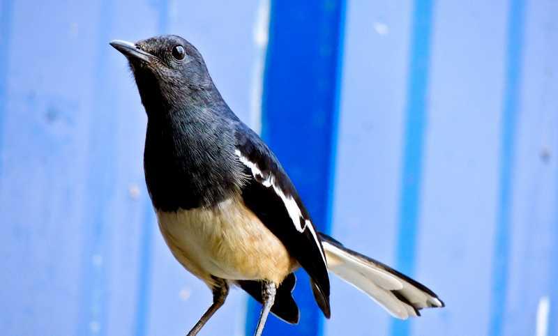 Burung Kacer Tipe Dingin (wikimedia.org)
