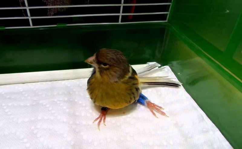 Burung Kenari Patah Kaki (youtube.com)