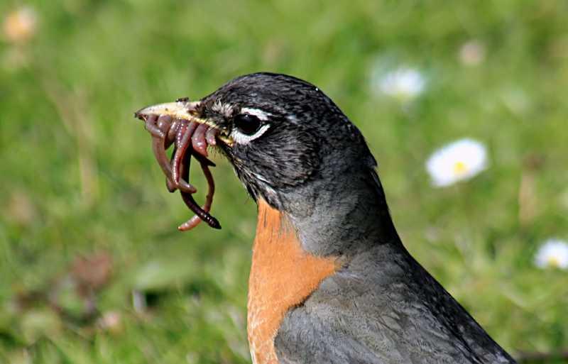 Burung Makan Cacing (galopingthunder.wordpress.com)