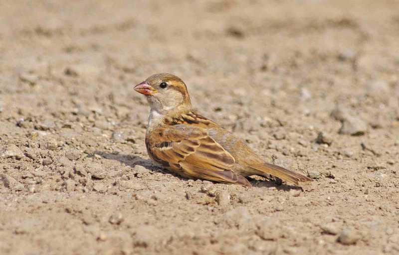 Burung Mandi Pasir (thespruce.com)