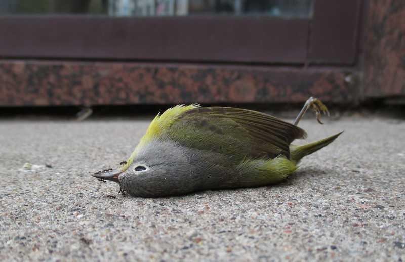 Burung Mati Mendadak (mprnews.org)