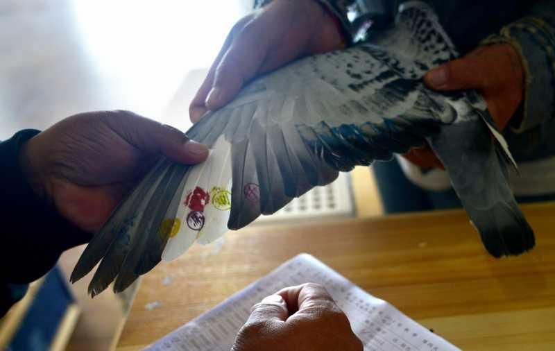 Burung Merpati Balap Menang tapi Curang (scmp.com)