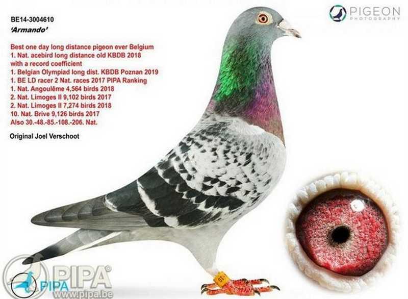 Burung Merpati Balap Termahal Armando (pipa.be)
