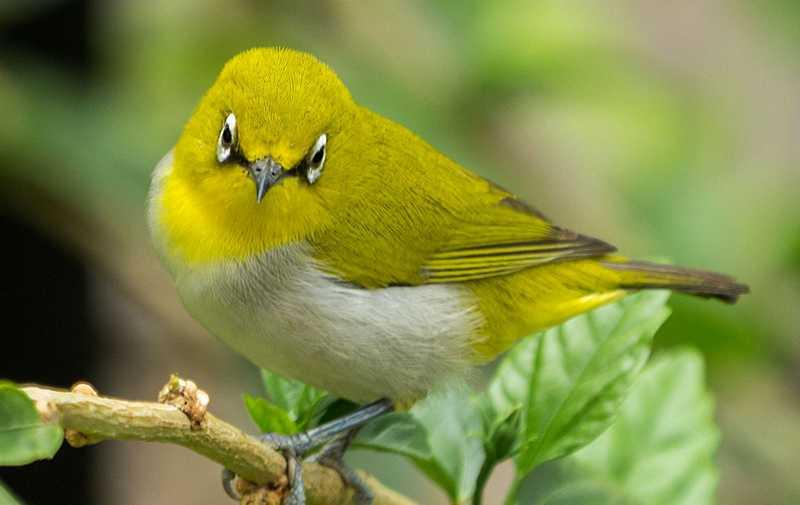 Burung Pleci Mengeluarkan Suara Isian di Lomba (jungledragon.com)