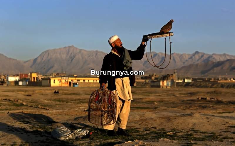 Burung Puyuh di Afghanistan (avax.news)