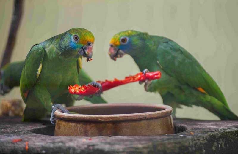 Burung Suka Makan Cabai (thesprucepets.com)
