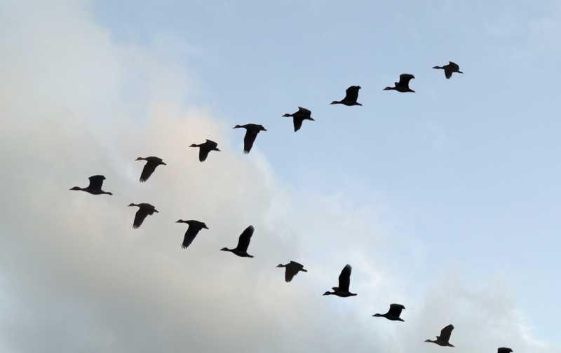 Burung Terbang Membentuk Formasi Huruf V (huffingtonpost.com)