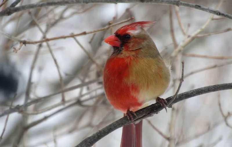 Burung Unik Mirip Lovebird Halfsider (livescience.com)
