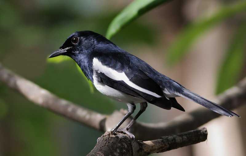 7 Cara Memaster Burung Kacer Agar Suara Isian Cepat Masuk
