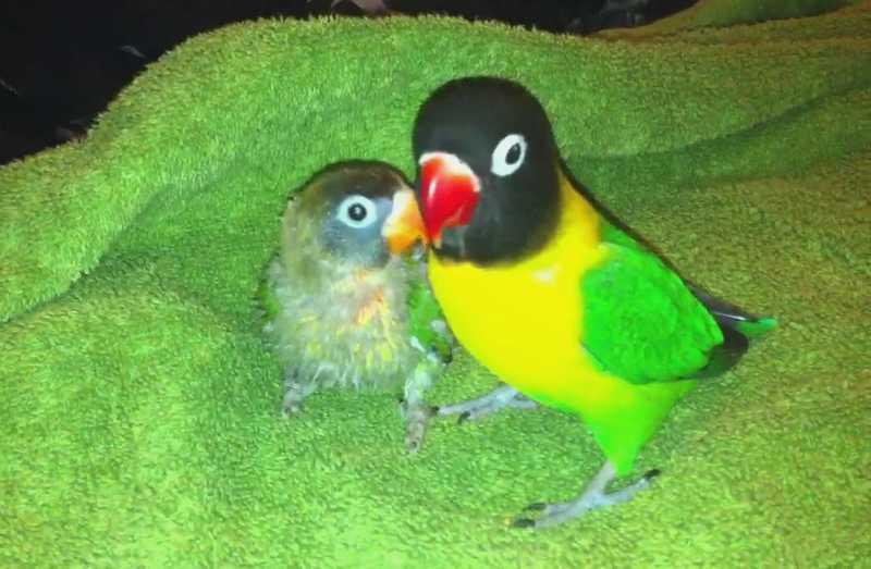 Cara Membedakan Lovebird Paud dan Dewasa (youtube.com)
