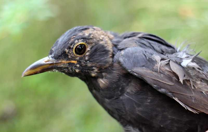 Cara Mempercepat Mabung Burung (hbw.com)