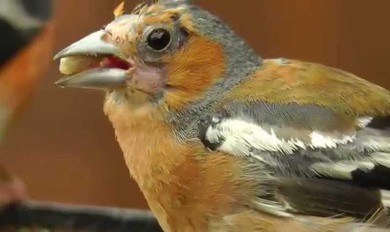Cara Merontokkan Bulu Burung saat Mabung (youtube.com)