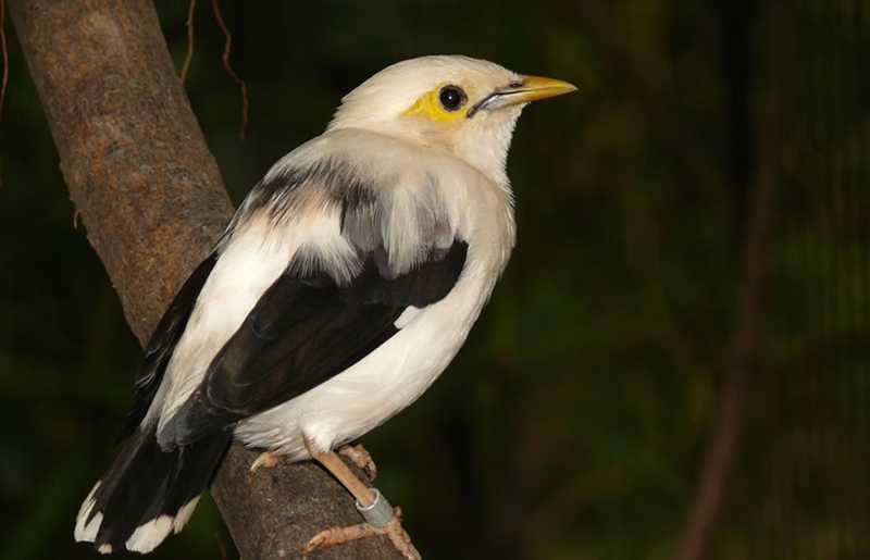 Ciri-ciri Burung Jalak Putih (mainas.nl)