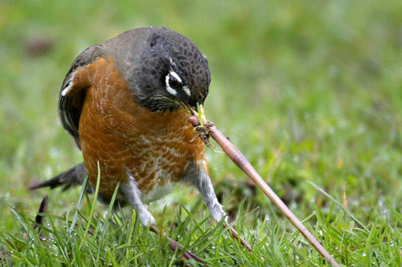 Jenis Cacing untuk Burung (telegraph.co.uk)