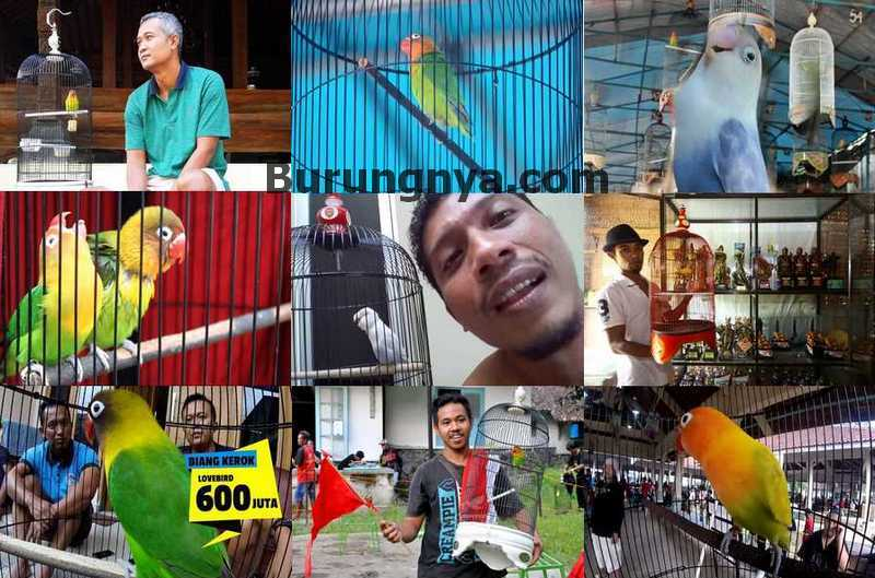 12 Lovebird Termahal mulai Harga Rp 350 Juta – Rp 2,2 Miliar