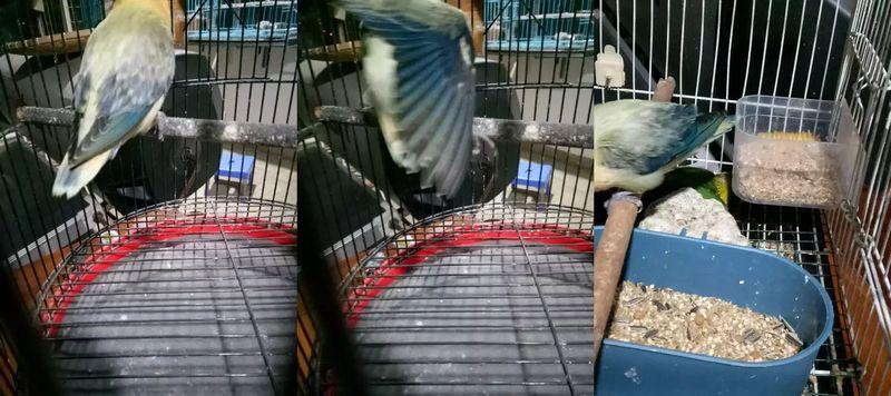 Lovebird Biola Termahal di OLX (olx.com)