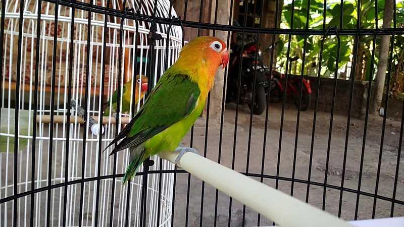 Lovebird Cerewet Ngekek Panjang (youtube.com)