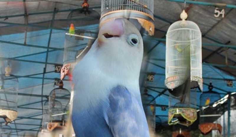 Lovebird Jalal (rindumerdu.blogspot.com)