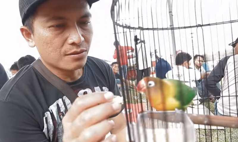 Lovebird Soldadu (youtube.com)