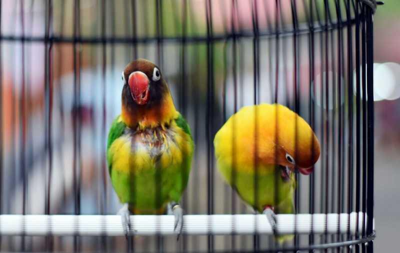 Lovebird Tidak Mau Bunyi di Lomba (duniakicau.com)