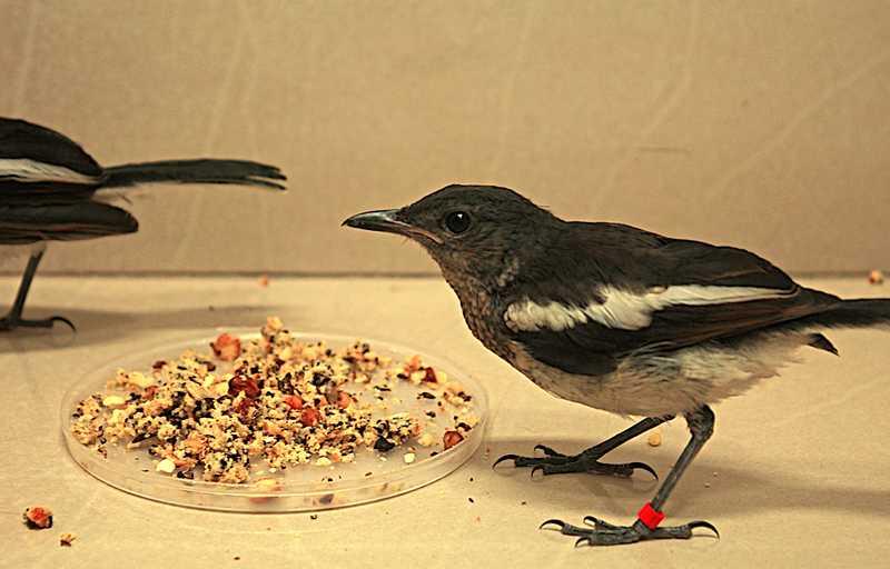 Makanan Burung Kacer agar Cepat Bunyi dan Gacor (natureinfocus.in)
