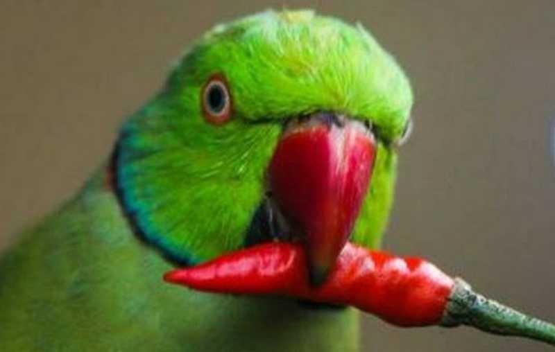 Manfaat Cabai untuk Burung (queenslanderaviaries.com)