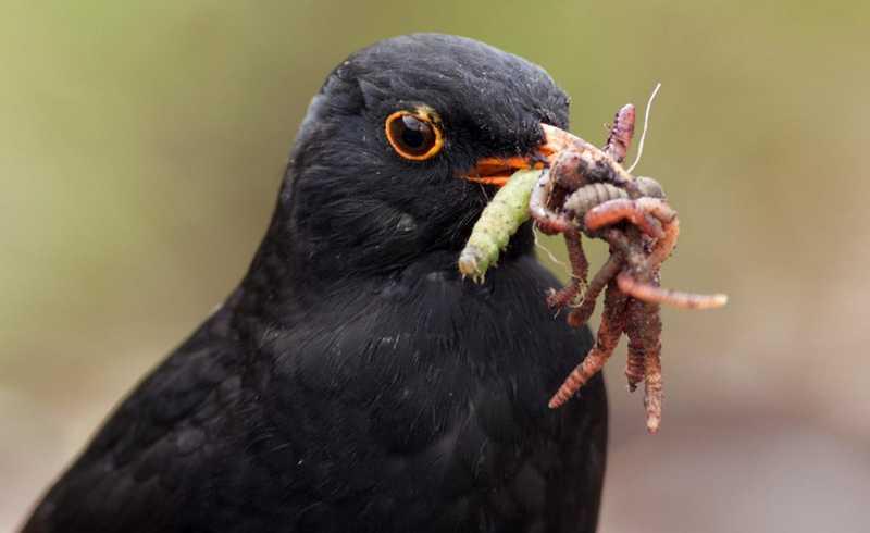 Manfaat Cacing untuk Burung dan Jenisnya (eartwormwatch.org)