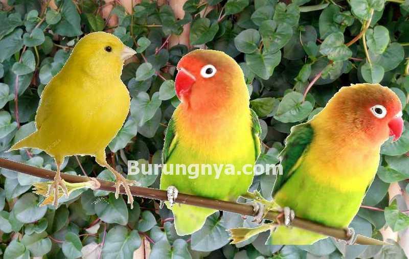 12 Manfaat Daun Binahong untuk Lovebird dan Kenari
