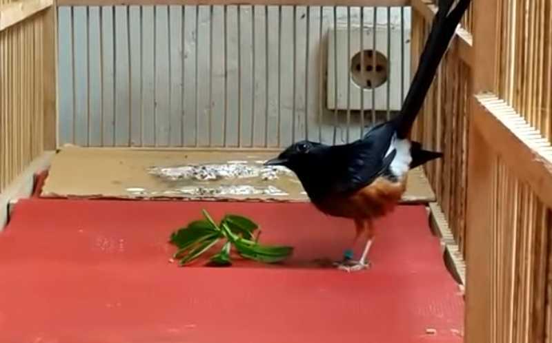 Manfaat Daun Ginseng untuk Burung Murai Batu (youtube.com)