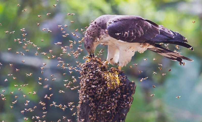Manfaat Madu untuk Burung (pinterest.com)