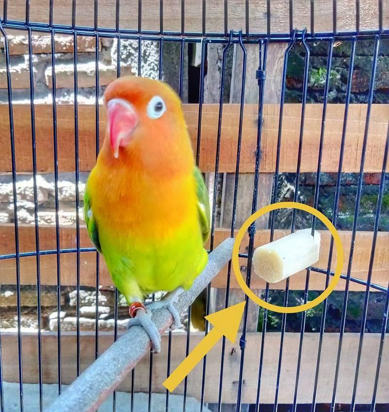 Manfaat Tebu untuk Burung Lovebird (facebook.com cak iqbal)