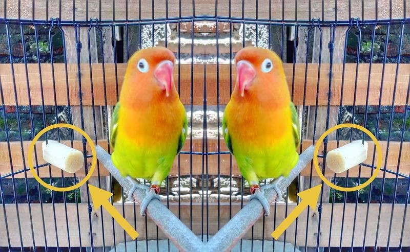 Manfaat Tebu untuk Lovebird (facebook.com cak iqbal)