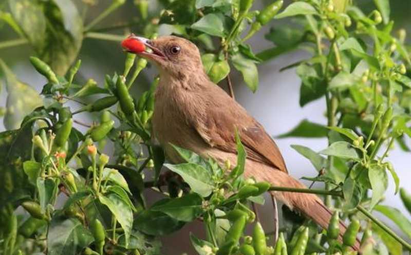 Manfaat Tepung Cabai untuk Burung (besgroup.org)
