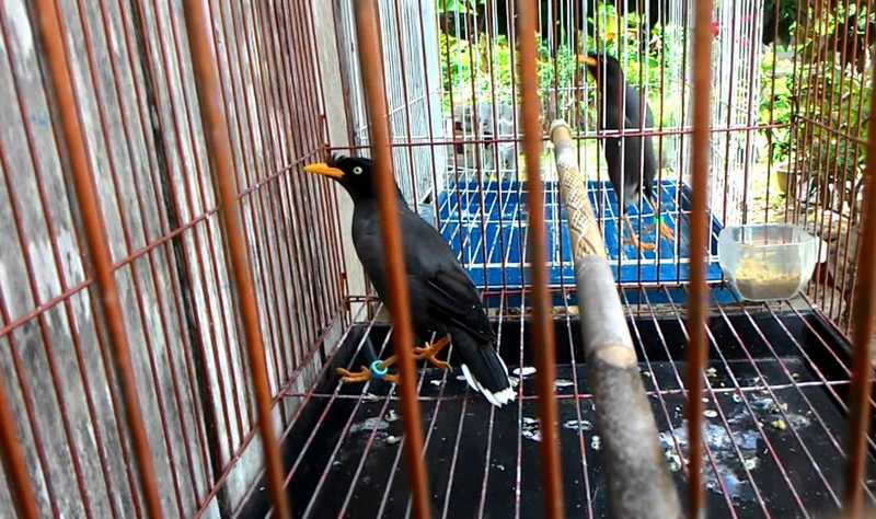 3 Mitos Aneh Cara Melatih Burung Jalak Bicara Seperti Manusia